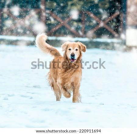 friendly golden retriever walk at the snow in winter park - stock photo