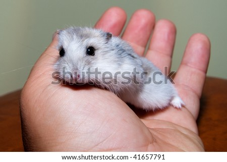 Friendly Hamster in a Hand