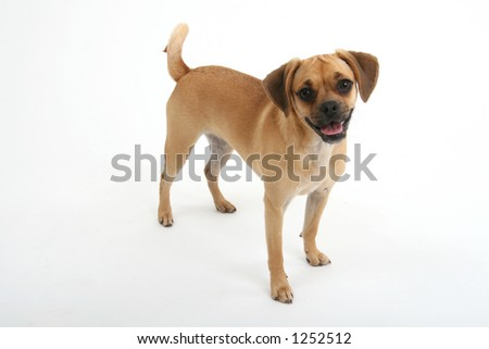 friendly puggle puppy - stock photo