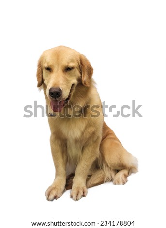 friendly pure breed golden retriever isolated in white background with clipping path - stock photo