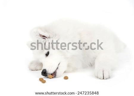 Friendly Samoyed dog lying with feed isolated on white - stock photo