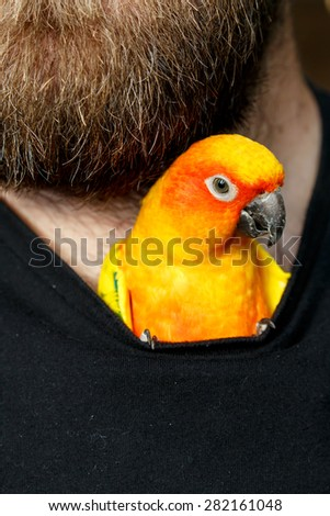 Friendly Sun Conure Parrot inside his bearded owners shirt and looking out - stock photo