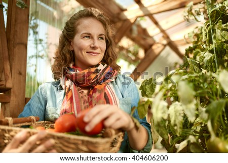 Friendly woman harvesting fresh tomatoes from the greenhouse garden putting ripe local produce in a basket  - stock photo