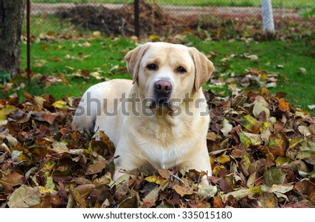 Friendly yellow labrador retriever during dogs training sitting on autumn leaves and looking . Autumn time and park scene with tree leaves background - stock photo