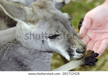 Friendly young Australian Western Grey Kangaroo in Natural Setting, with paw on human hand.  - stock photo