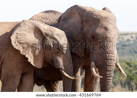 Friends - The African bush elephant is the larger of the two species of African elephant. Both it and the African forest elephant have in the past been classified as a single species. - stock photo