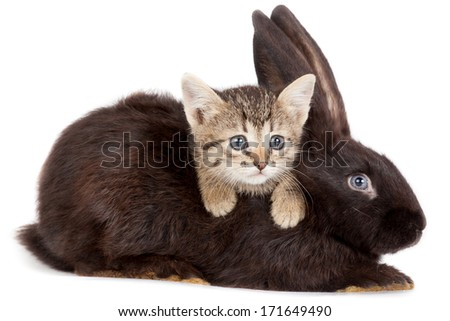 Friendship animals and pets. Kitten and Rabbit in studio isolated on white background. - stock photo