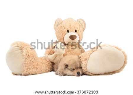 Friendship concept. Small pomeranian dog and teddy bear isolated on white background - stock photo
