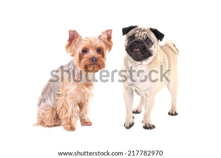 friendship - yorkshire terrier and pug dog sitting isolated on white background - stock photo