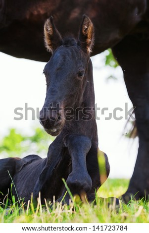 Friesian foal lies on the field with the protecting mother beside