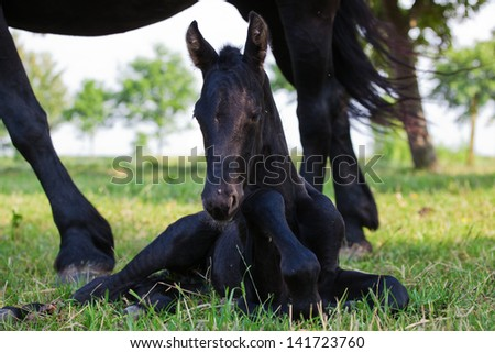 Friesian foal lying on the field with the mother standing beside