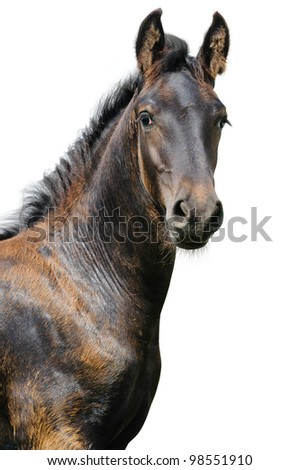 Friesian foal on a white background - stock photo