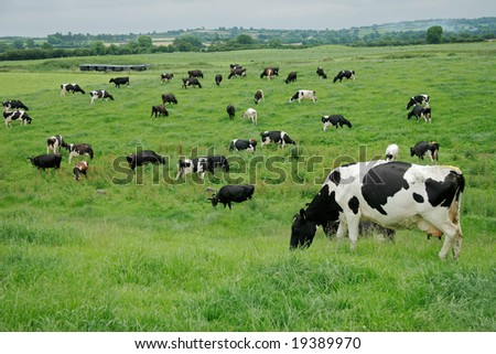 Friesian (Holstein) dairy cows grazing on lush green pasture - stock photo