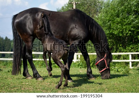 Friesian horse mare with foal - stock photo