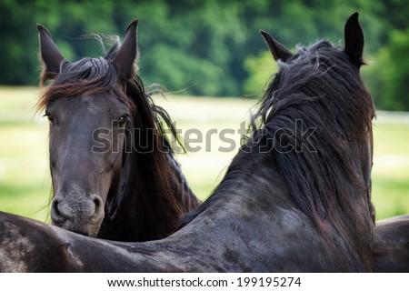 Friesian horses - stock photo
