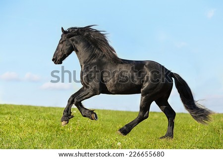 Friesian stallion cantering in the field - stock photo
