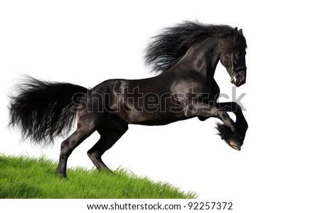 Friesian stallion isolated on white background - stock photo