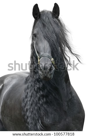 Friesian stallion on a white background - stock photo