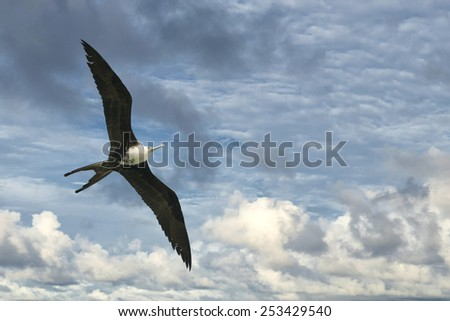 Frigate bird while flying in the sky background - stock photo