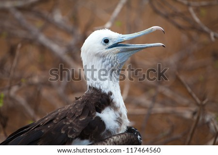 Frigatebird, North Seymour Island breeding colony, Galapagos - stock photo