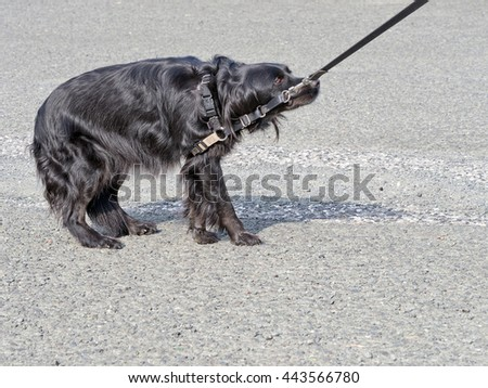 Frightened and resisting pet dog. Hates vet, veterinarian. Fear, phobia? - stock photo