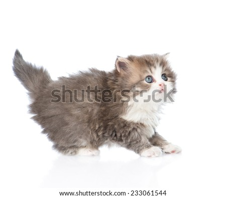 frightened baby kitten in profile looking up. isolated on white background - stock photo