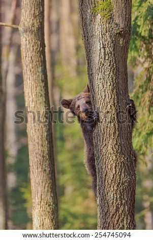 frightened bear cub in a tree - stock photo