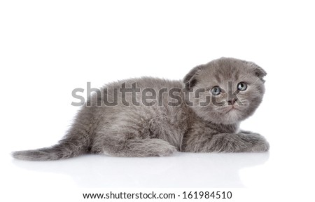 frightened british shorthair kitten looking up. isolated on white background