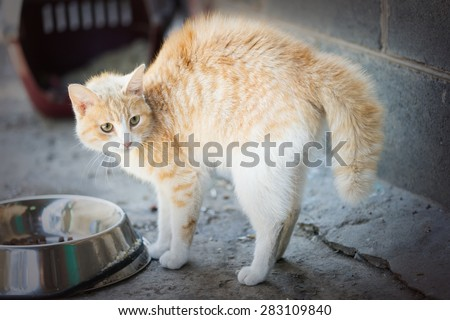 Frightened cat arched her back - stock photo