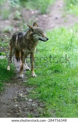frightened Eurasian wolf - stock photo