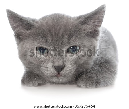 Frightened gray kitten lay isolated on white background.