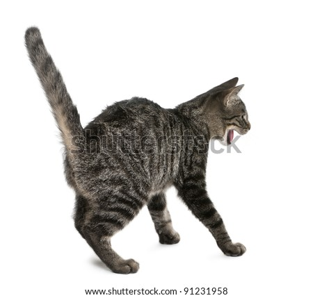 Frightened Mixed-breed cat, Felis catus, 6 months old, standing in front of white background - stock photo