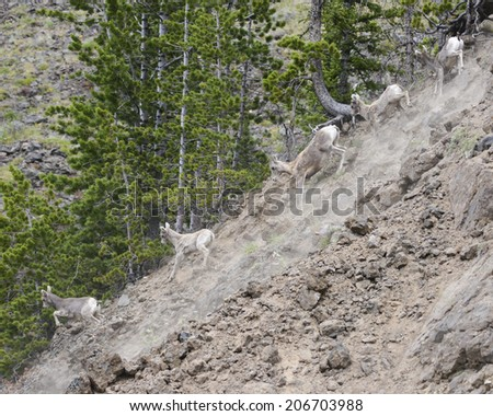 Frightened mountain sheep flee down steep hill - stock photo