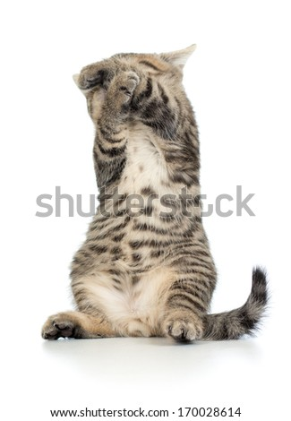 frightened standing little Brittish kitten with closed face and eyes - stock photo