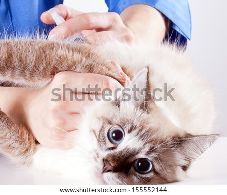frightened young blue-eyed furry cat veterinarian makes an injection - stock photo