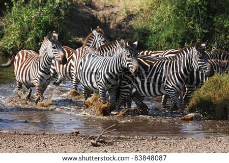 Frightened zebras crossing the river - stock photo