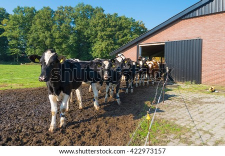 frisian cows walk out their stable into the meadow