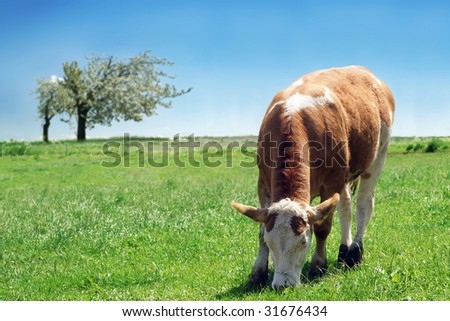 Frisian dairy cow in a rural setting with lovely green grass and blue sky.