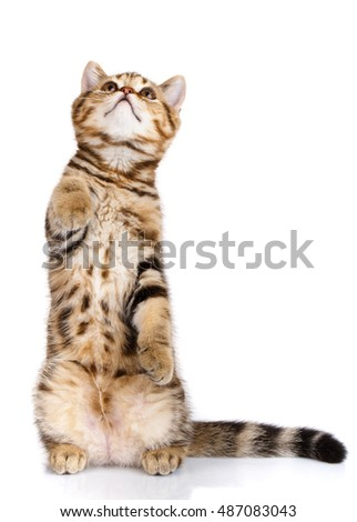 Frisky cat Scottish Straight standing on his hind legs isolated on a white background