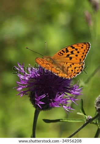 Fritillary butterfly feeding on thistle