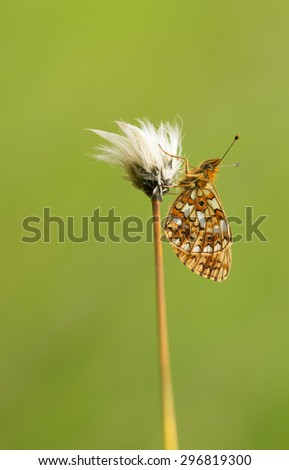 Fritillary butterfly resting - stock photo