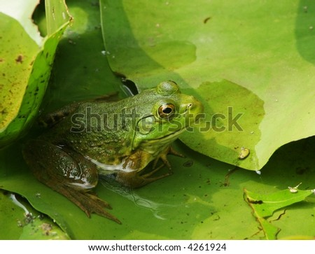 Frog among the Lily Pads