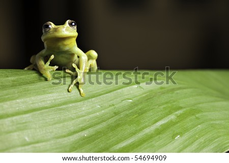 frog amphibian treefrog rainforest branch tropical tree frog on green leaf with copy space tropical amazon jungle animal - stock photo