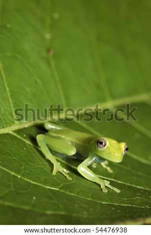 frog amphibian treefrog rainforest green leaf tropical copy space background