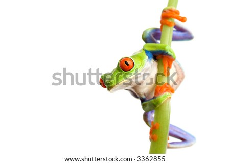 frog climbing on bamboo, closeup of red-eyed tree frog (Agalychnis callidryas) isolated on white