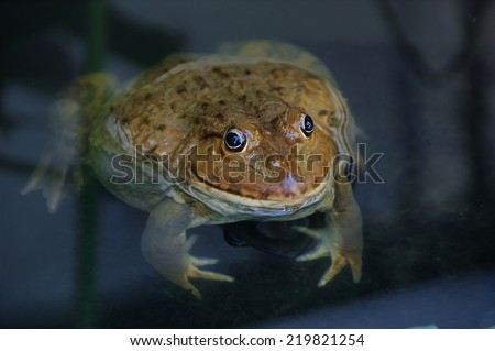 Frog close up looking before itself. - stock photo