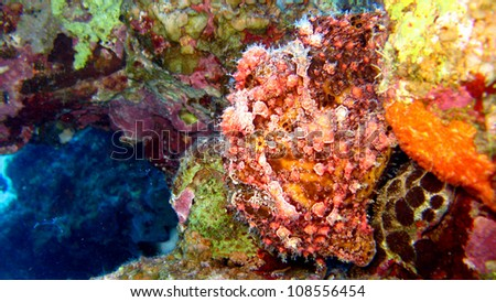 Frog Fish,Red Sea - Egypt