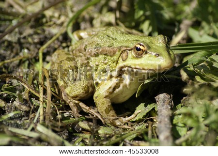 Frog hidden in a green grass