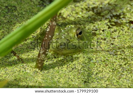 Frog hiding out in the pond.A frog peeps out,looking for food or curiously at the photographer snapping its photo. - stock photo