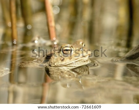 Frog in a forest pond at the beginning of spring. - stock photo